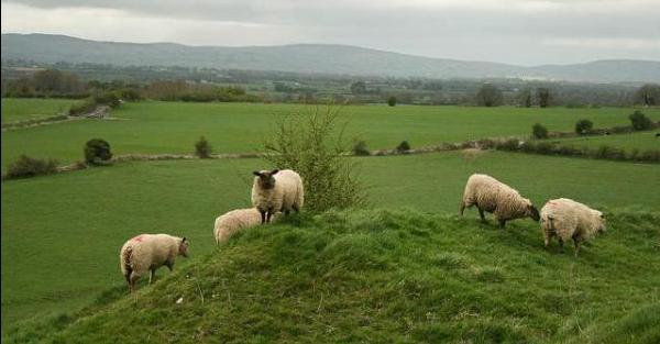 sheep on a hill in ireland