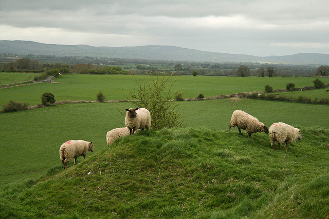 Sheep on a Hill, Ireland. (Source: ccharmon, Flickr. CC license.)