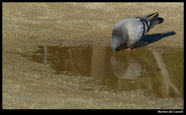 Seeing ourselves clearly isn't always easy. Especially if we're pigeons. (Credit: Marina del Castell, CC license.)
