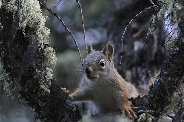 Angry Pine Squirrel is angry. (Credit: Aaron Dollar, CC license.)