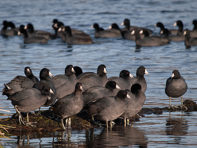 "Roll call! (Credit: Ingrid Taylar, CC license.) Bonus: these are called ""American coots."""