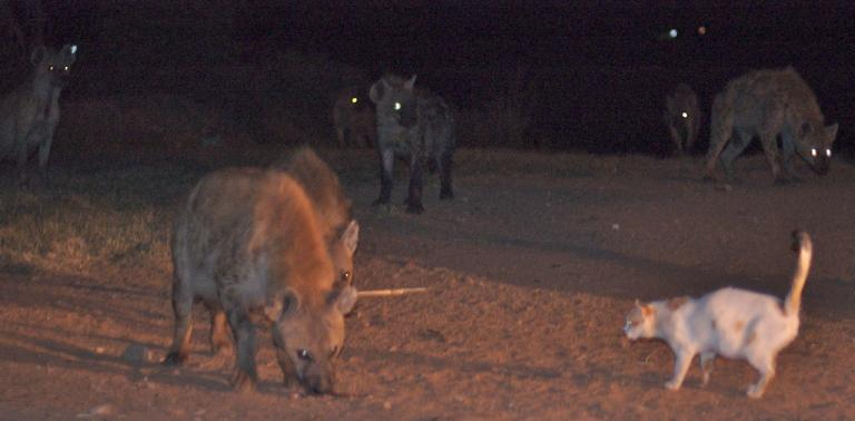 """This is possibly the bravest cat in the world. I don't include it for any particular reason other than to say """"Ho-lee COW."""" Apparently it darts out every night to eat the handouts given to the hyenas here, and they let it come and go. (Credit and more info: Alan, CC license.)"""