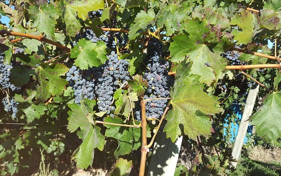 Concord grape vines