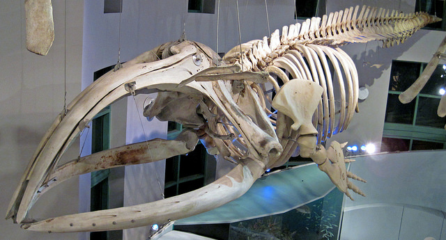 """(James St. John, CC.) This is a right whale, which has plates in its mouth (called """"baleen,"""" used to filter tiny krill in the water for food) that were used long ago to make buggy whips and corset stays. Whale evolution, incidentally, doesn't embarrass Creationists nearly as much as it should."""