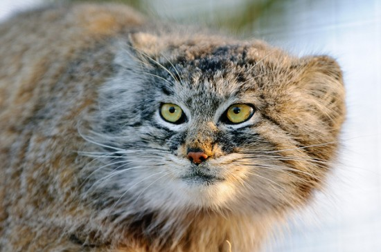 but then again does pallas' cat ever approve?