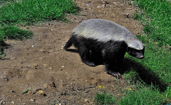 nobody ever trusts honey badgers