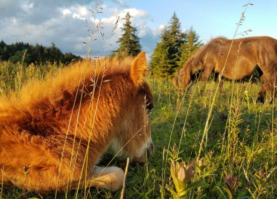 Real Little Ponies. Not mine, however. (Virginia State Parks, courtesy of Bob Diller, CC.) They're wild ponies who live in Grayson Highlands State Park.