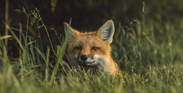 fox in the green grass