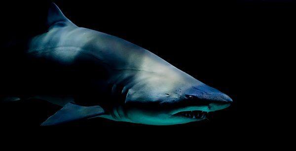 big big shark