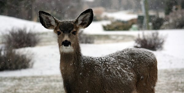 a young deer in the snow