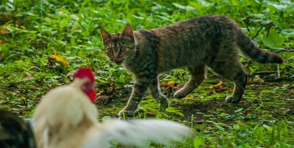 hungry cat approaches a chicken