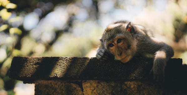 bored monkey looks over at us