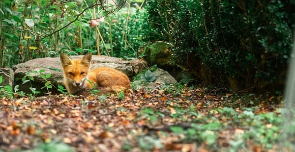 a cute red fox resting against rocks in a forest