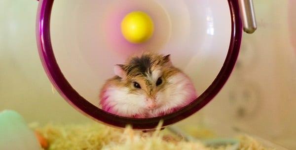 a cute hamster in a wheel