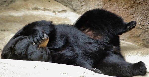 a black bear face-palming