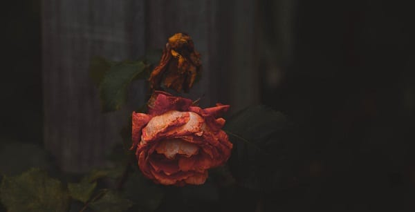 a dying red rose