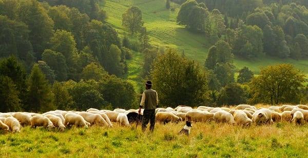 a shepherd tending sheep
