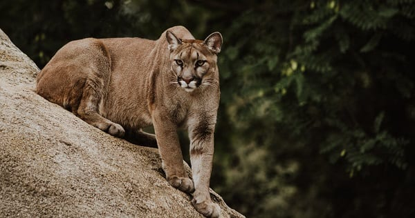 unchurched action plan is a literal cougar about to eat your face off