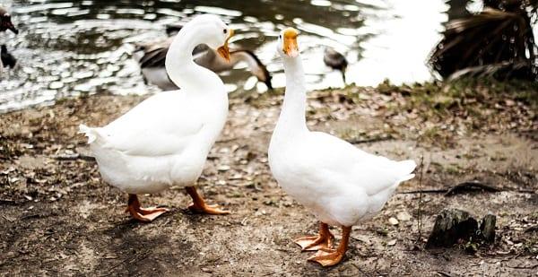 goose evangelism