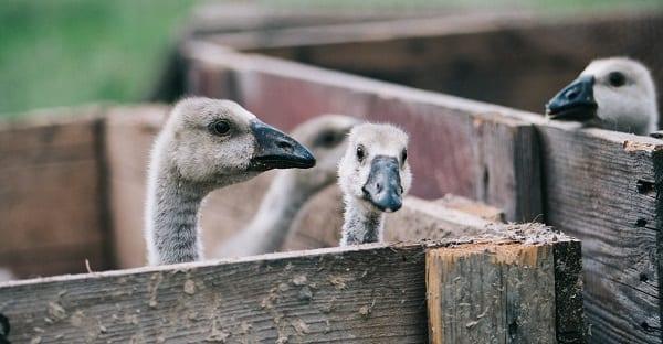 goslings awaiting dinner