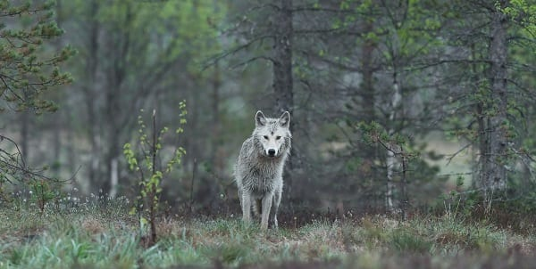a wolf in a forest