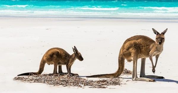 a pair of kangaroos on the beach