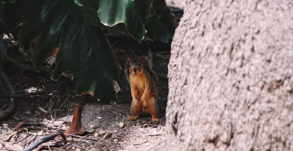 a squirrel peeks out from behind a tree