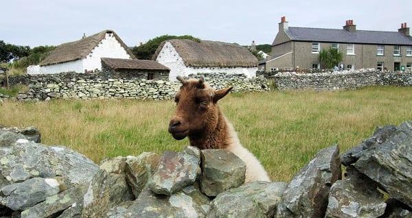 a cute goat in the isle of man