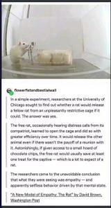 An empathetic rat