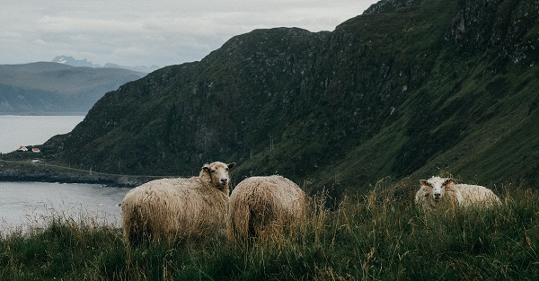 sheep can so pine for the fjords