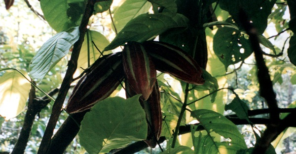 cacao beans on the tree