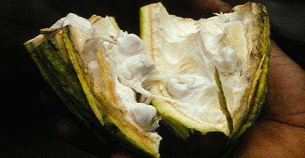 a cacao pod, split open