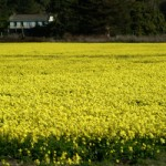 field_of_yellow_flowers_0001-0302-1800-2225_SMU