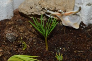 Cedar Sprout