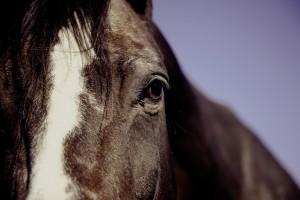 horse-594191_640