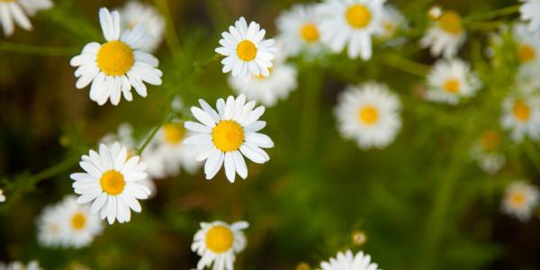 Chamomile Flowers, public domain (publicdomainpictures.net)
