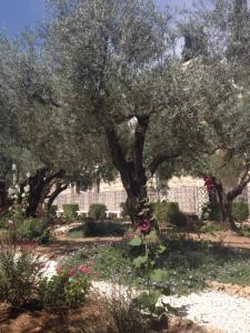 Olive trees Mount of Olives