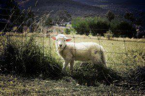 lamb-451982_1280