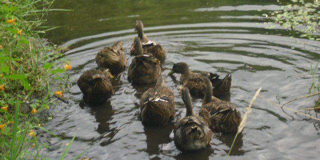 ducksonthewater