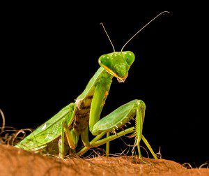 praying-mantis-220998_1280