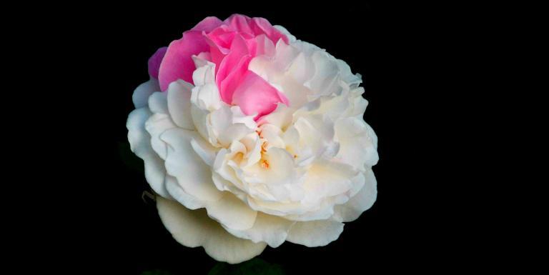 rose-369106_1920