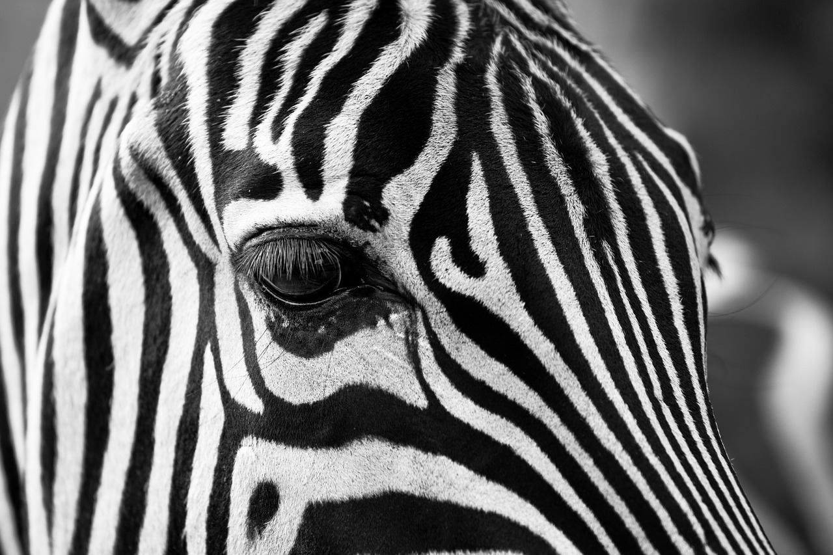 zebra-630149_1280