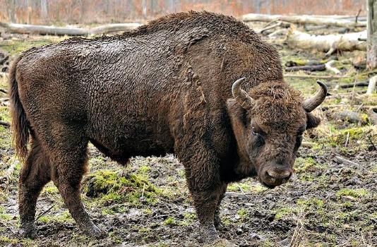 800px-Bison_bonasus_(Linnaeus_1758)