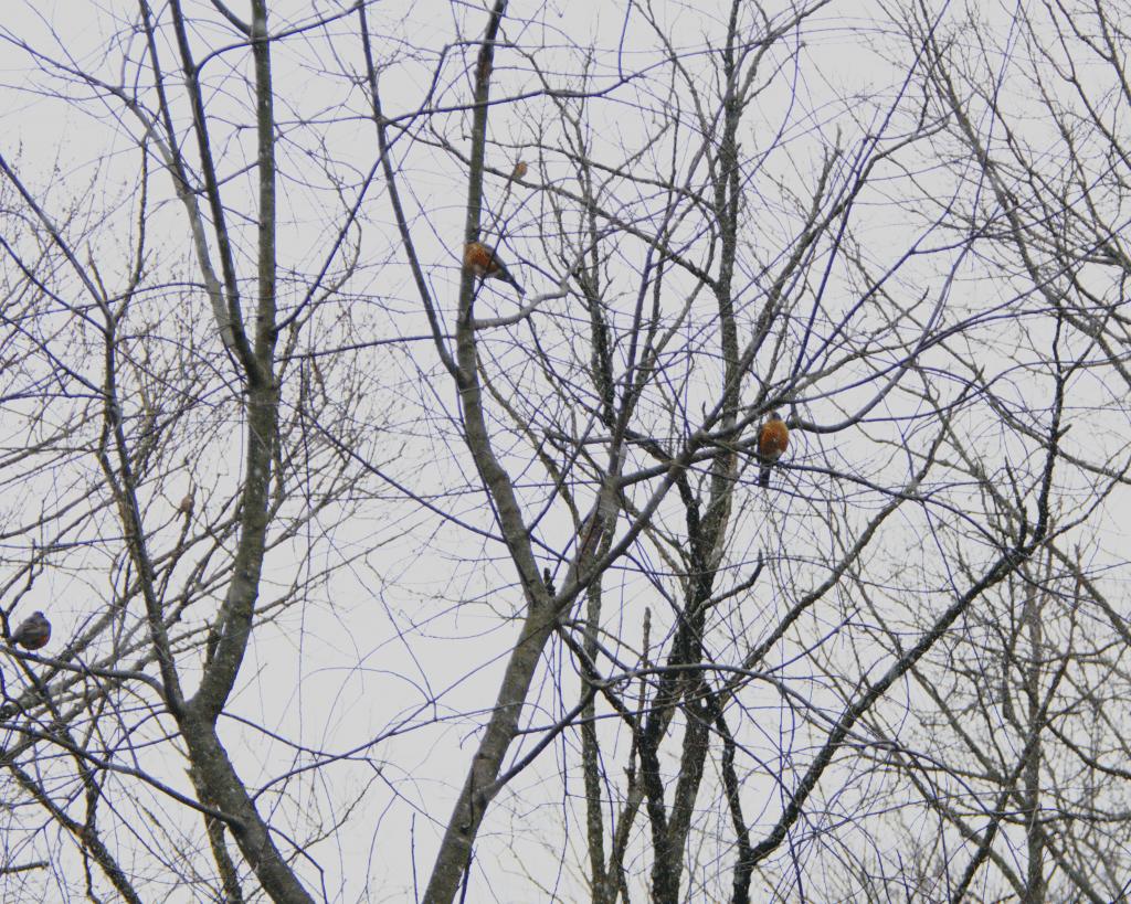 """January 17: """"January Robins"""""""