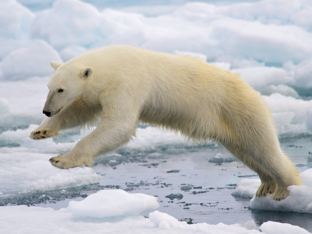 A frame-filling portrait of a male polar bear (Ursus maritimus) jumping in the pack ice. The young male, probably due to a mix of curiosity and hunger, got really close to our ship - less than 20 meters. Svalbard, Norway. Photo and caption by the National Park Service. Perhaps god just hates polar bears?