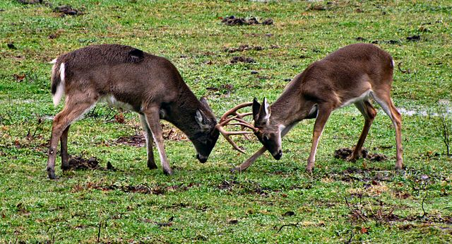 Deer Fight