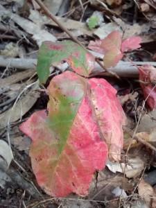 Poison Oak changes color