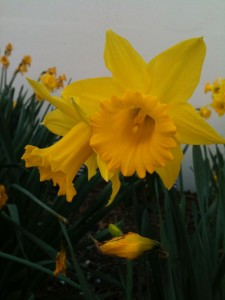 Daffodils. Because they spell Easter and Ostara and are prettier than a picture of basil that hasn't sprouted yet.