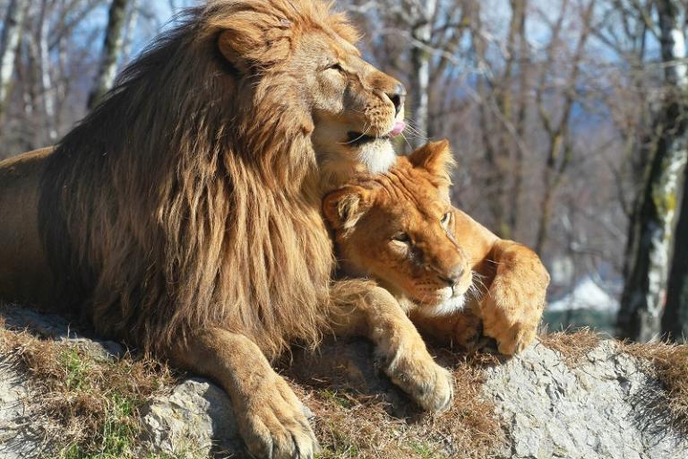 lions love 800x533