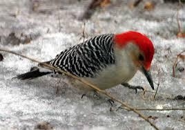 Epiphany 6  redbellied woodpecker